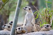Group Of Slender-tailed Meerkat in open zoo poster