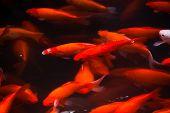 Gold Carp Swimming West Lake Hangzhou Zhejiang China poster