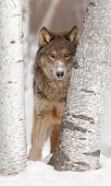 Grey Wolf (Canis lupus) Looks Between Two Birch Trees - captive animal poster