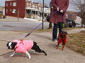Two well-dressed dogs (Boston Terrier) strain and pull on their leashes with their owner on a walk in an urban neighborhood on a winter day. poster