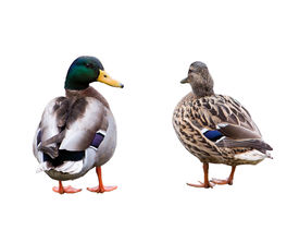 Pair Of Ducks Isolated On White