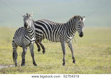 Adult Common Zebra's fighting in the Ngorongoro Crater Tanzania poster