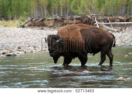 American Bison Walking in Water