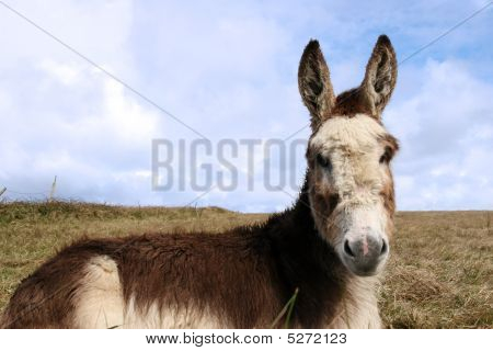 Head Donkey