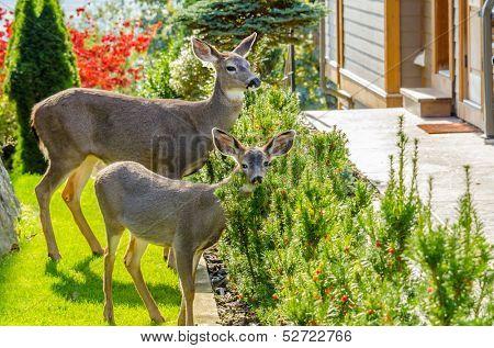 Deer family in urban neigbourhood in Vancouver, Canada.
