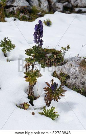 Beautiful aconite blossom in snow, Alps, Austria poster