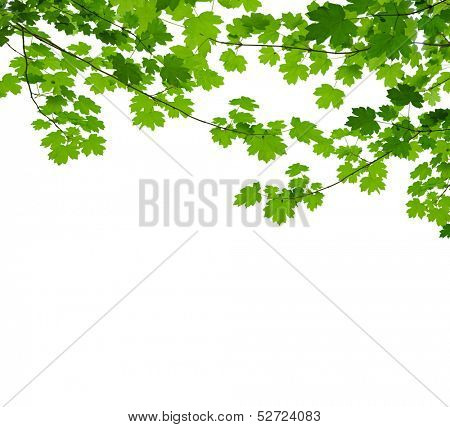 maple branch isolated on white