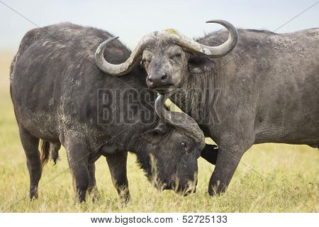 Cape Buffalo Bulls (syncerus Caffer) In Tanzania