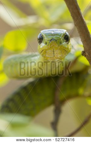 Male Boomslang Snake, (dispholidus Typus), South Africa