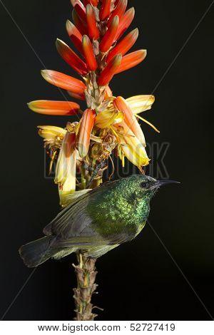 Collared Sunbird On Aloe Flower (hedydipna Collaris)