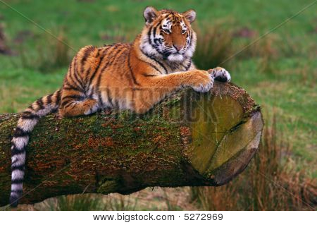 Siberian Tiger Cub Laying On A Tree
