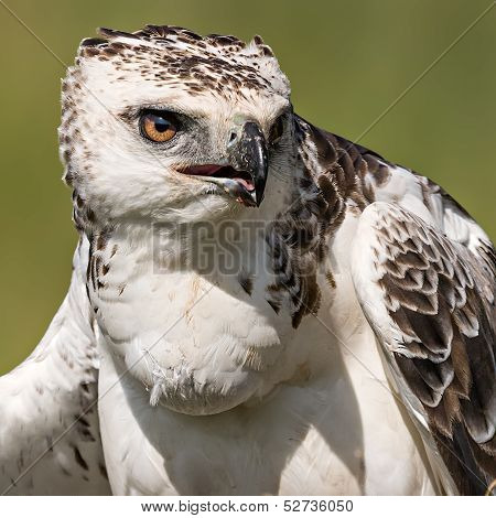 Martial Eagle (polemaetus Bellicosus)