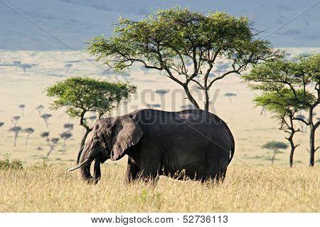 Elephant In The Savannah