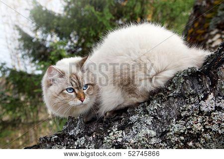 Siberian Cat In A Autumn Forest