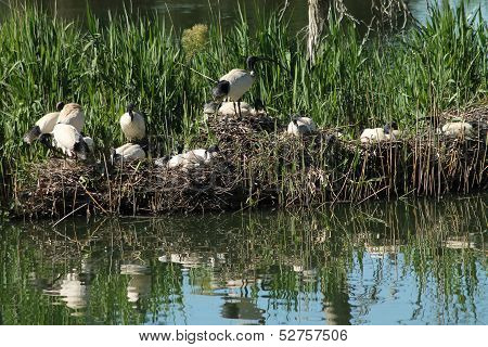 Ibis Breeding Grounds