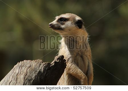 Meerkat Staring