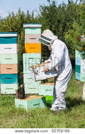 poster of Side view of beekeeper in protective workwear carrying honeycomb frames in crate at apiary
