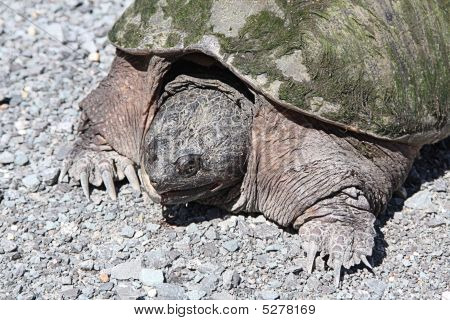 Common Snapping Turtle Tu052