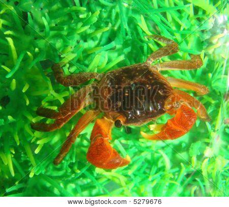 Midget Mangrove Crab Lately In Aquarium