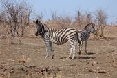 Effect of global warming on Burchells Zebras in Africa. poster