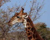 Giraffe in the bushveld of South Africa. poster