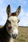 a donkey resting in a field on the west coast of ireland poster