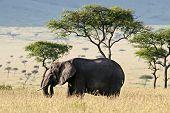 Elephant walking through the Savannah in Massai Mara Kenya. poster