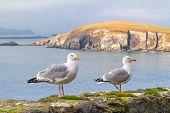 Seagulls on the coast of Dingle Peninsula in Ireland poster