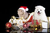 White dog spitz  and kiten Persian  wearing a santa hat, cat and dog poster