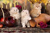 Persian kittens poster