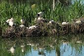 Ibis breeding grounds with nests and water reflections poster