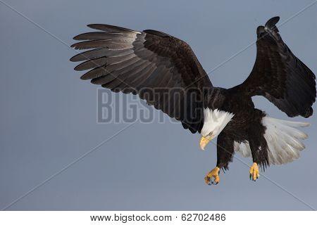 Adult American Bald Eagle landing