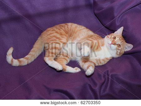 Red & White Cat Lying Lazily