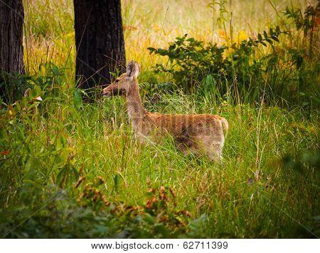 Swamp deer or barasingha (Rucervus duvaucelii) in Bardia National Park Nepal poster