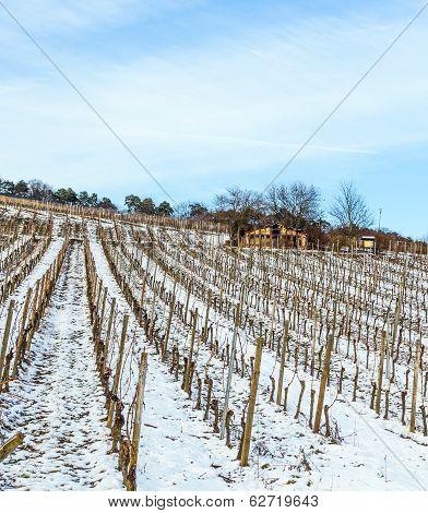 Beautiful Vineyard In Winter