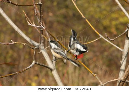 Blackcapped Chickadee On Branch In Morning Sun poster