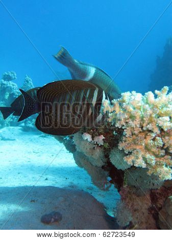 Red Sea Safin tang with coral reef at the bottom of tropical sea on blue water background