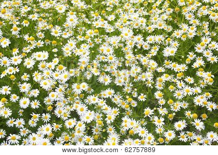 White Blossoming Camomiles