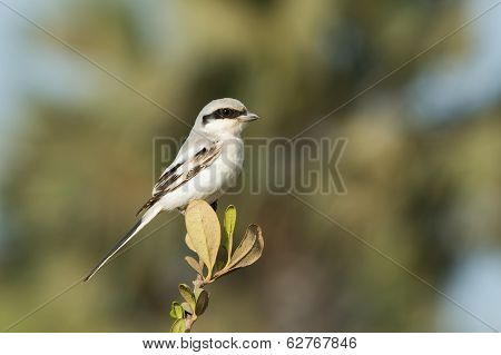 A Southern Grey Shrike (Lanius meridionalis) perched on the top of a small bush poster