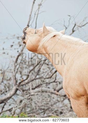 Beautiful Palomino Stallion Of Quarterhorse Breed