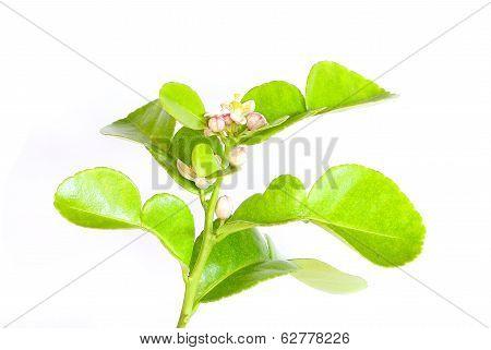 Kaffir Flowers