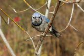 Bluejay Perched On Branch In Morning Sun poster