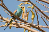 An Abyssinian Roller (Coracias abyssiniica) perched in a tree poster