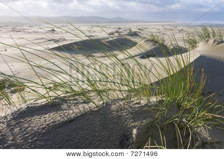Beach Grass On The Oregon Coast