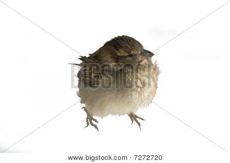 Disheveled urban sparrow