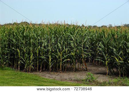 Tall Corn in Cornfield