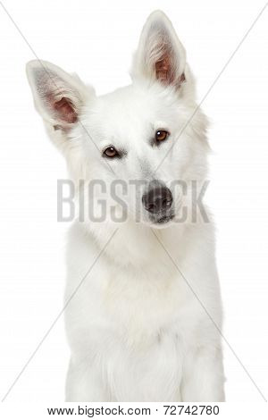 White Swiss Shepherd Dog. Close-up Portrait