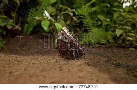 Owl Butterfly On The Ground