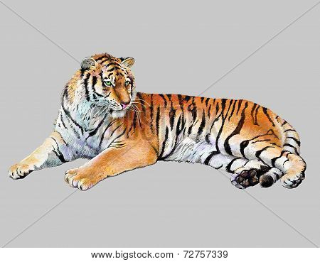 scetch colored drawing realistic illustration of tiger, isolated, vector version poster