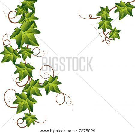 Branch of Green ivy . Vector Illustration